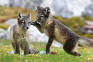 Arctic foxes by Aurora Expeditions