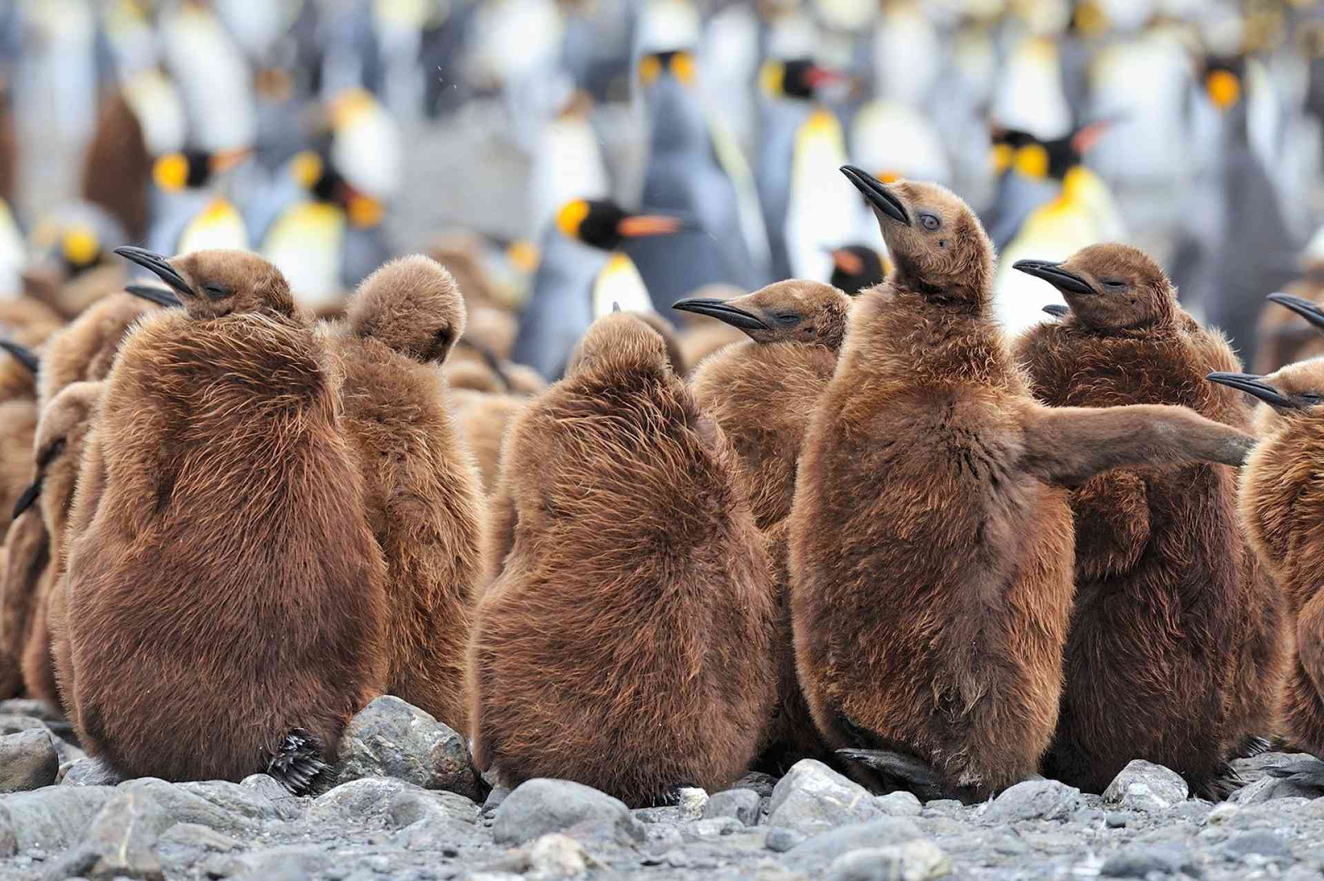 King penguins of Fortuna Bay, South Georgia by Martin van Lokven, Oceanwide Expeditions