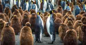 King penguins face off, Antarctica by Aurora Expeditions