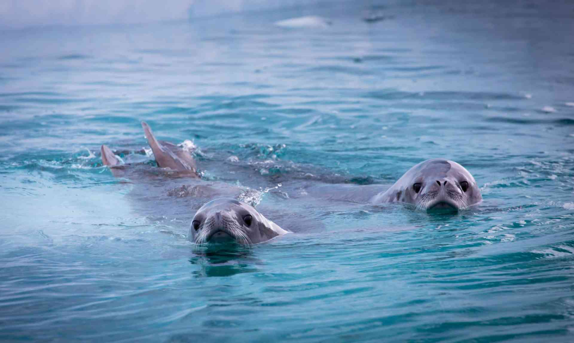 Crabeater seals by Aurora Expeditions