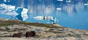 Muskox, by Aurora Expeditions