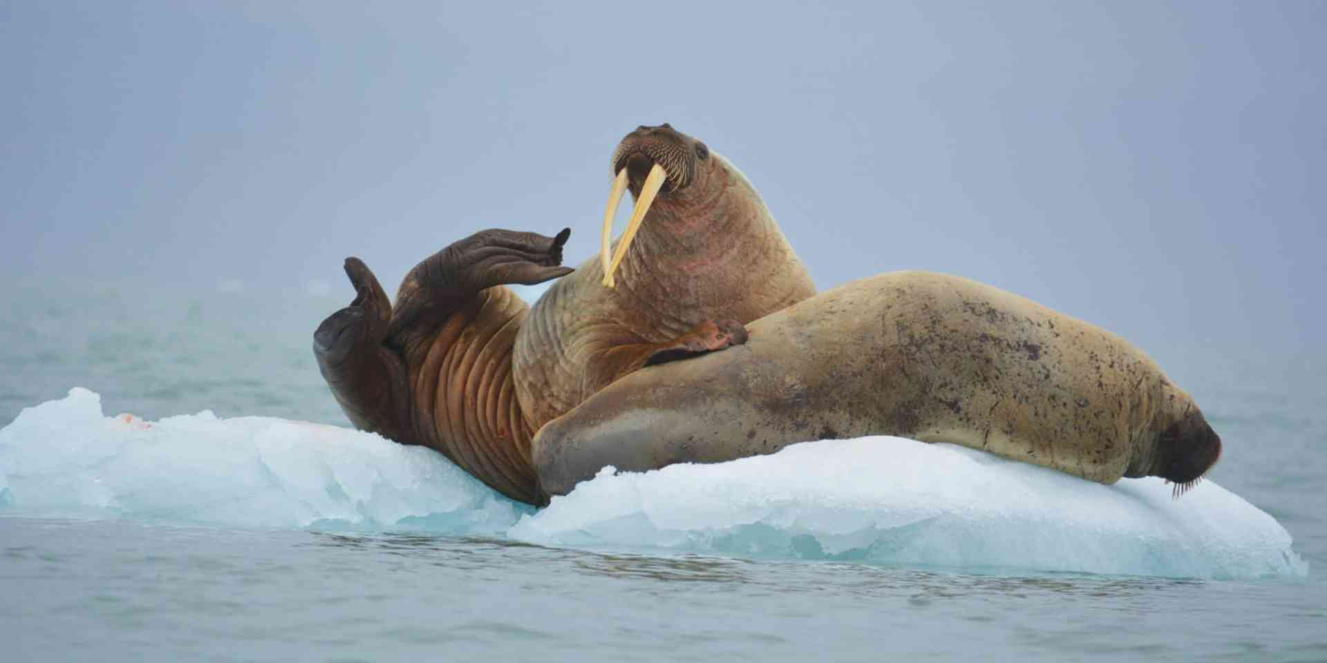 Walrus posing in East Greenland by Aurora Expeditions
