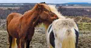 Icelandic Horses by Victoria Hearn