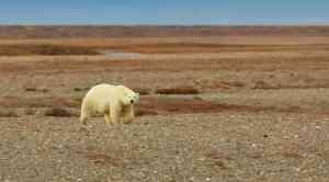 Polar bear, Wrangel Island, Russia by Aurora Expeditions