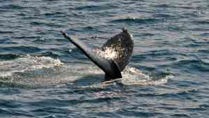 Encounters with humpback whales, Wrangel Island, Russia by Aurora Expeditions