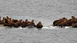 Remote Wrangel Island Nature Reserve, the largest Pacific walrus breeding grounds in the world, Russia by Aurora Expeditions
