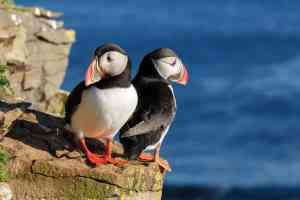 Puffins in Iceland, by Aurora Expeditions