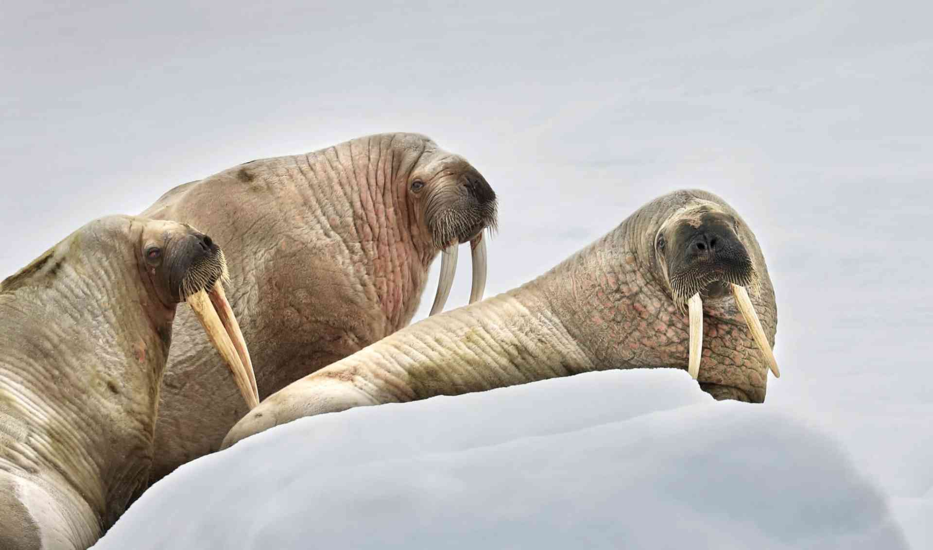Walrus haulout at Hinlopen Strait by Aurora Expeditions