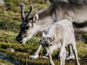 Reindeers grazing in Svaldbard by Aurora Expeditions