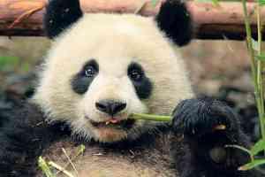 Giant Panda Breeding Research Base, Chengdu, China