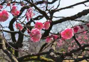 Cherry blossoms, Japan by Adam Dickson