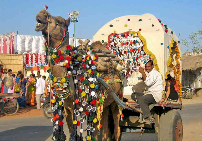 Colourful Camels in Pushkar, India