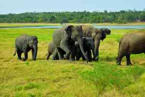 Minneriya National Park, Sri Lanka by Hayley Ovens