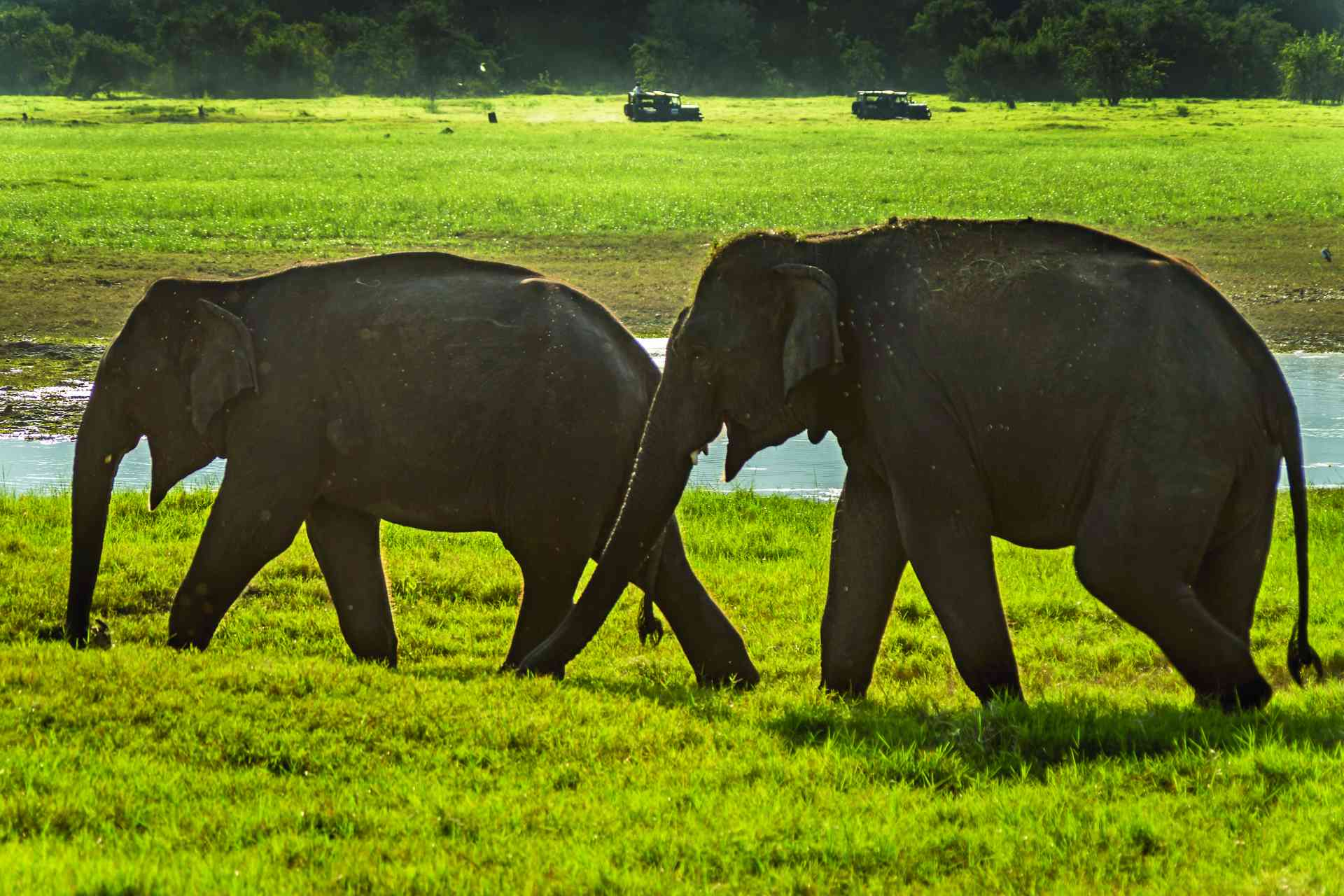 Elephants, Minneriya National Park, Sri Lanka