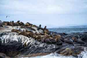 Seals resting on the rocks on Montague Island, Narooma by Destination NSW