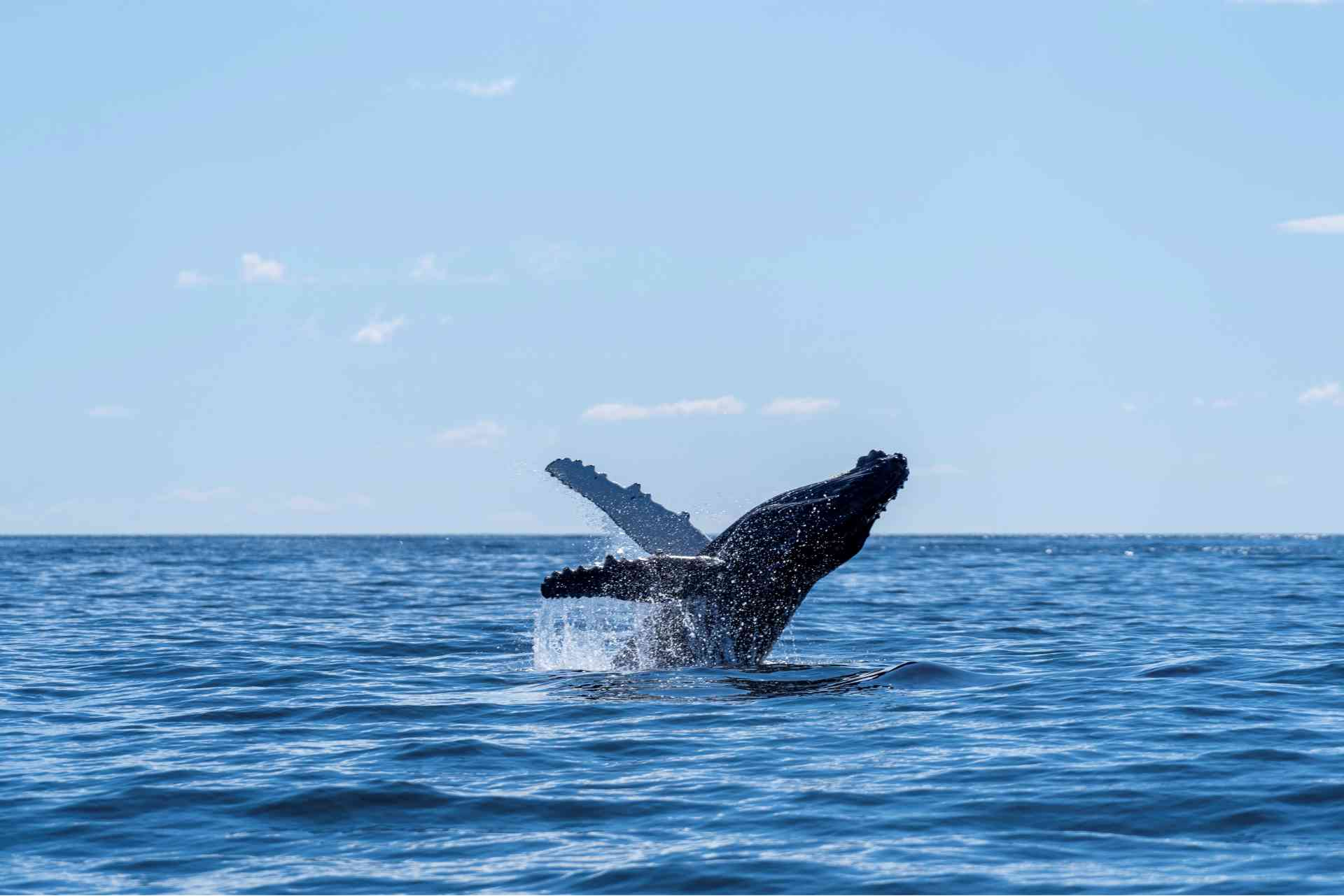 Whale breeching in waters off Montague Island, Narooma by Eurobodalla Coast Tourism