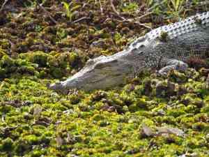 Crocodile exploring in Ngurrungurrudjba (Yellow Water), Northern Territory by Annelieke Huijgens