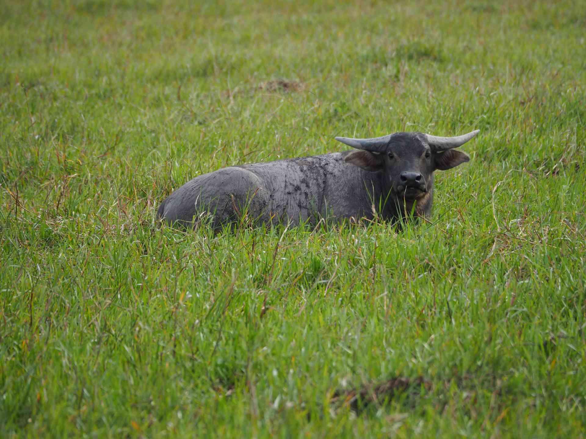 Water buffalo, Northern Territory by Annelieke Huijgens
