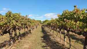 McLaren Vale vineyard, South Australia, Australia by Dennis Bunnik
