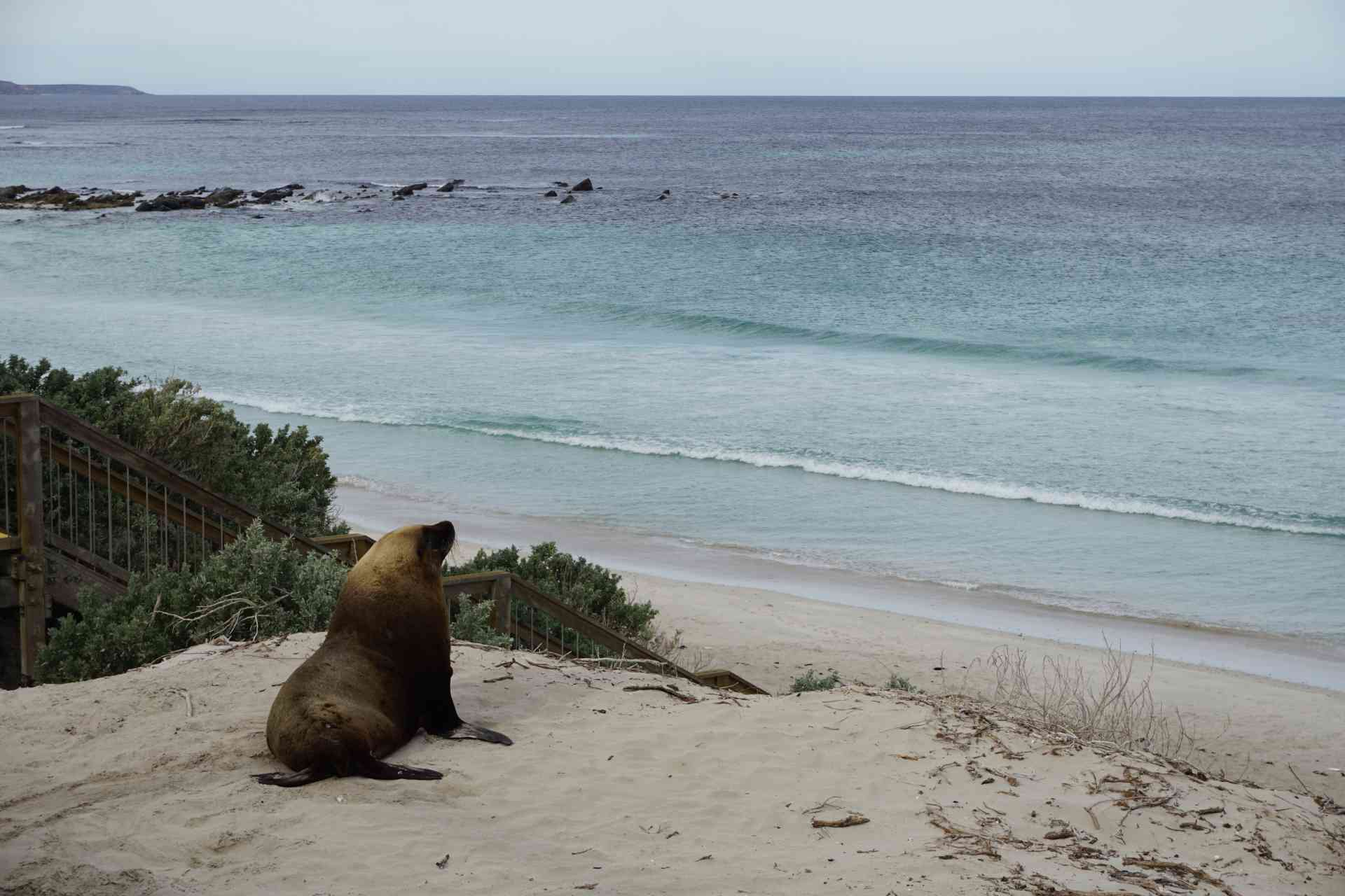 Seal relaxing on Kangaroo Island by Laura Roemekso