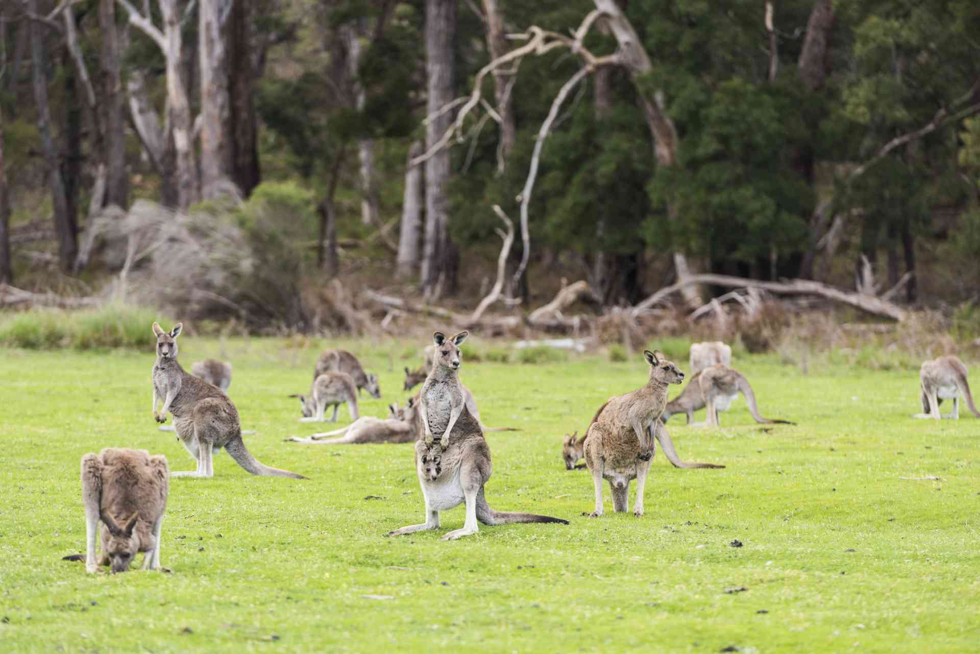 Grampians Wildlife, Victoria by Visit Victoria