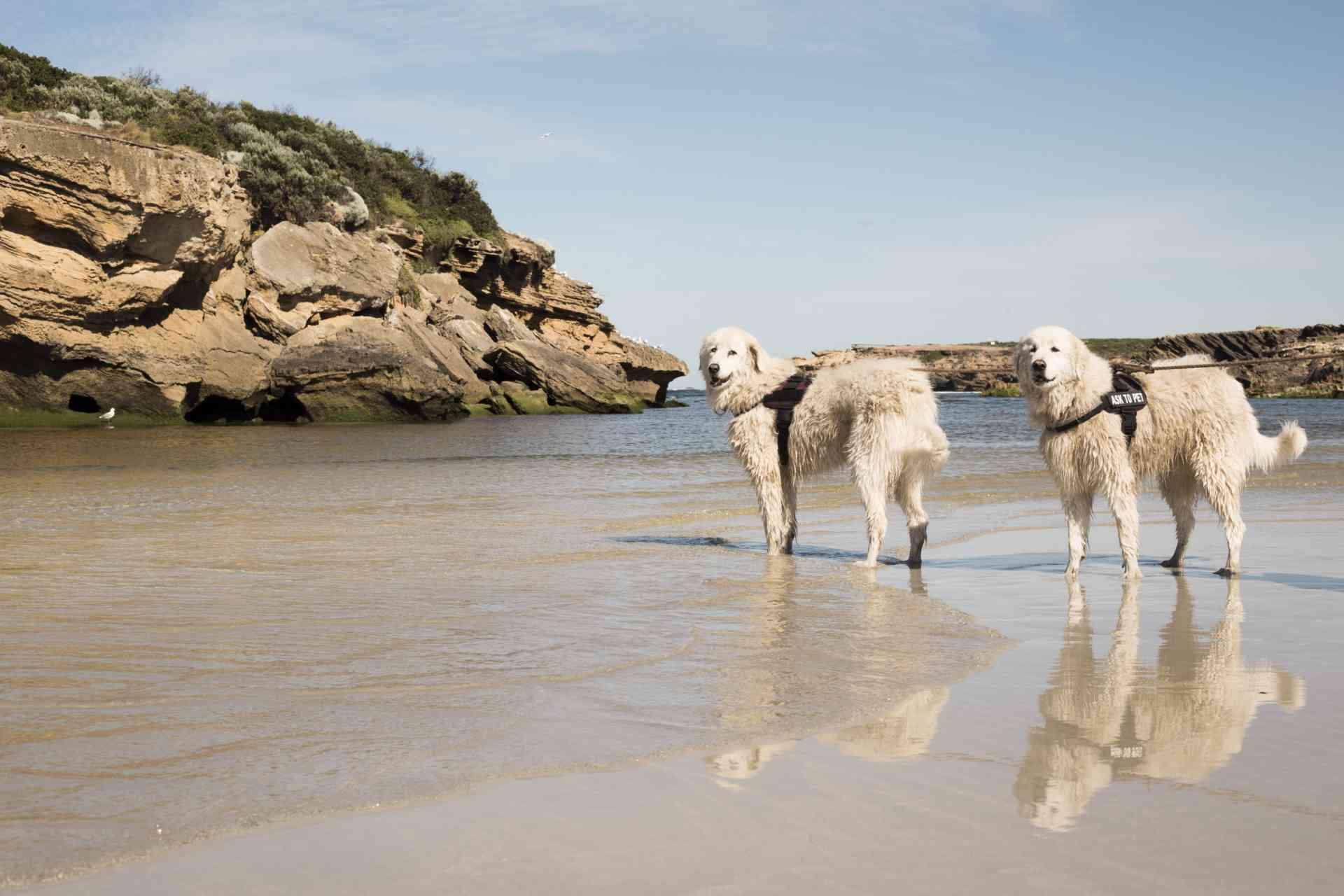 Maremma dogs near Warrnambool, Victoria by Visit Victoria