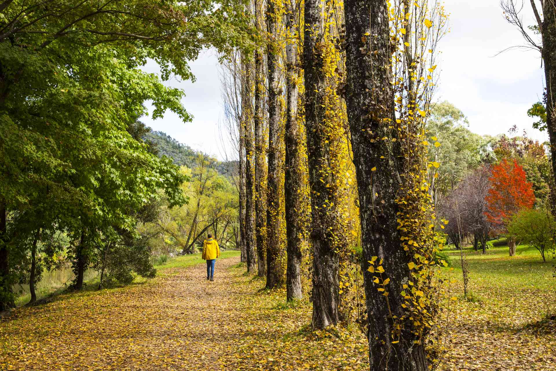Autumn leaves in Bright, Victoria by Visit Victoria