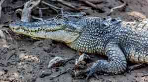 Crocodile, Kimberley, Western Australia by Quentin Chester (Aurora Expeditions)