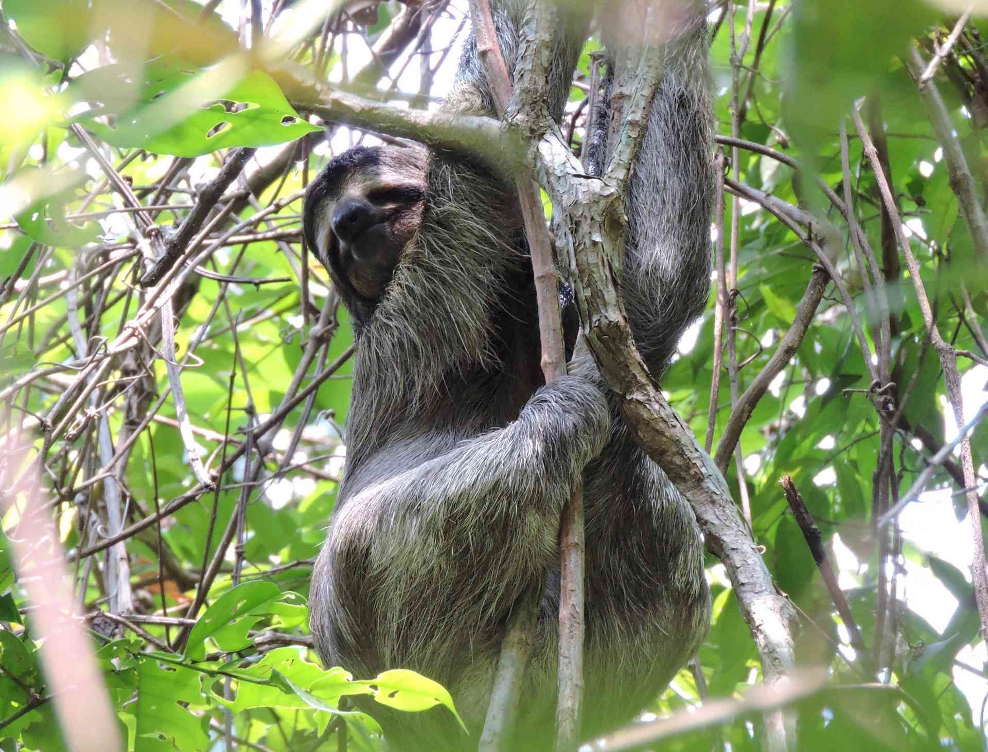 Sloth in Manuel Antonio National Park, Costa Rica by Zoe Francis