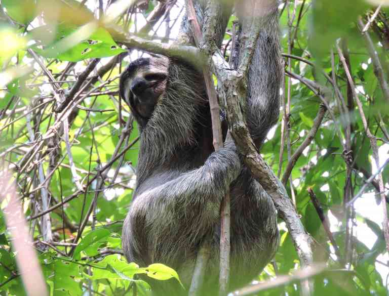 Sloth in Manuel Antonio National Park, Costa Rica by Zoe Francis