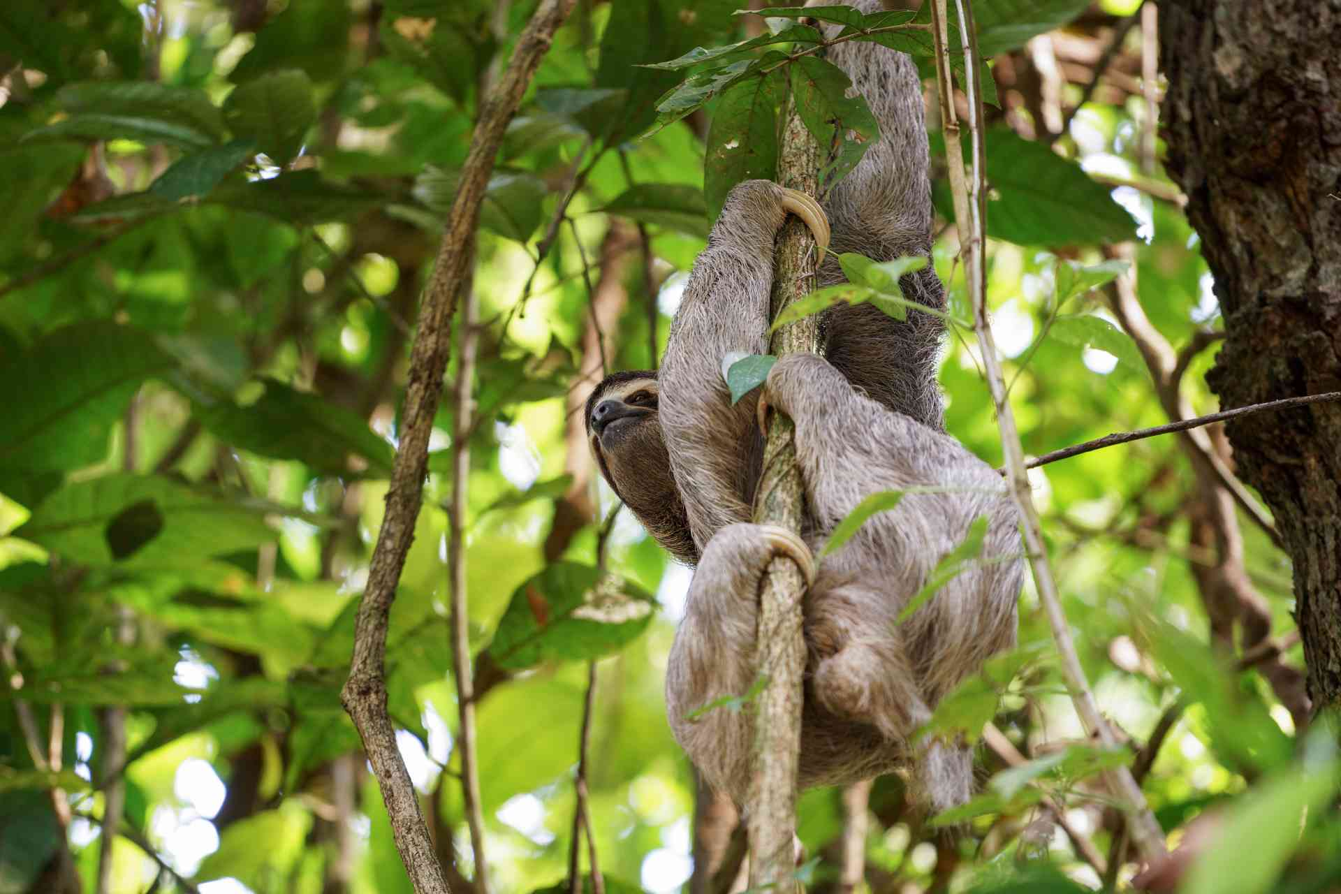 A sloth in Manuel Antonio National Park, Costa Rica by Vikramjeet Singh