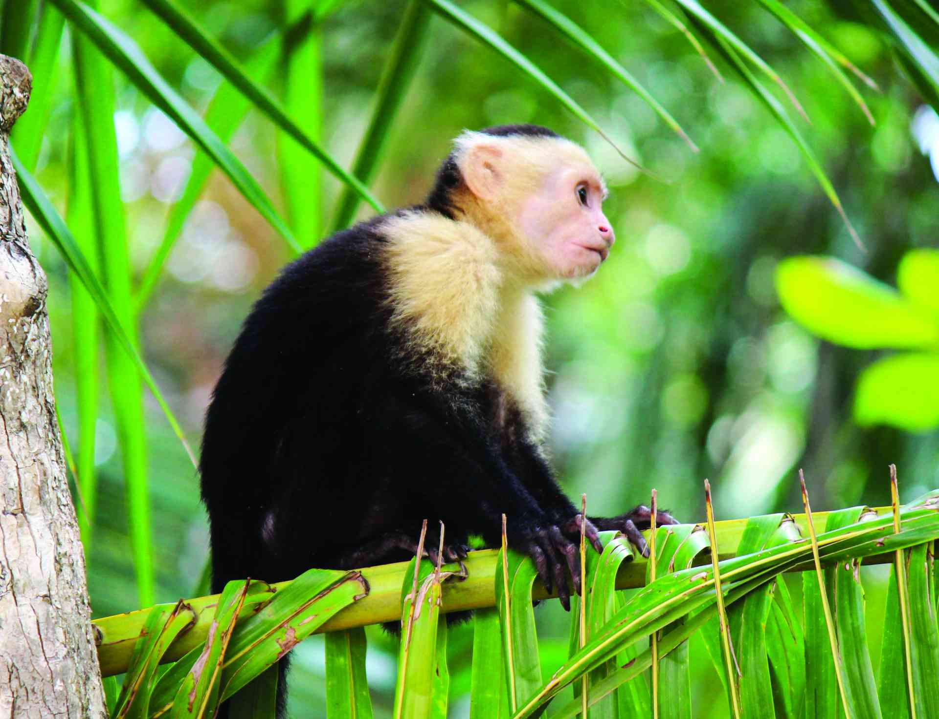 White-faced Capuchin Monkey, Guatemala by Emily Fraser