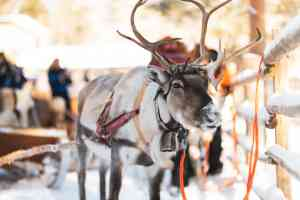 Reindeer Farm, Rovaniemi, Finland by Michael Mead & Wild Nordic Finland