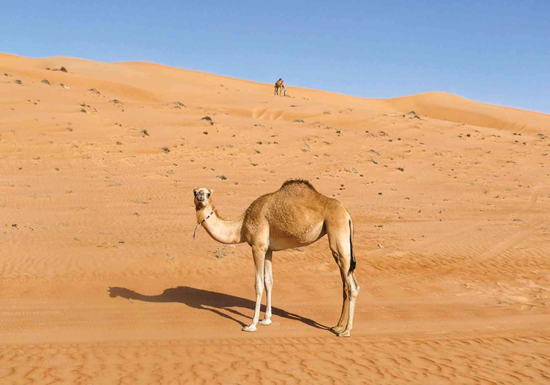 Camel in Wahiba Sands, Jeremy van Heerde