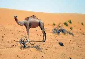 Camel in Wahiba Sands, Oman