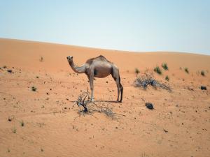 Camel at Wahiba Sands by Robert La Bau
