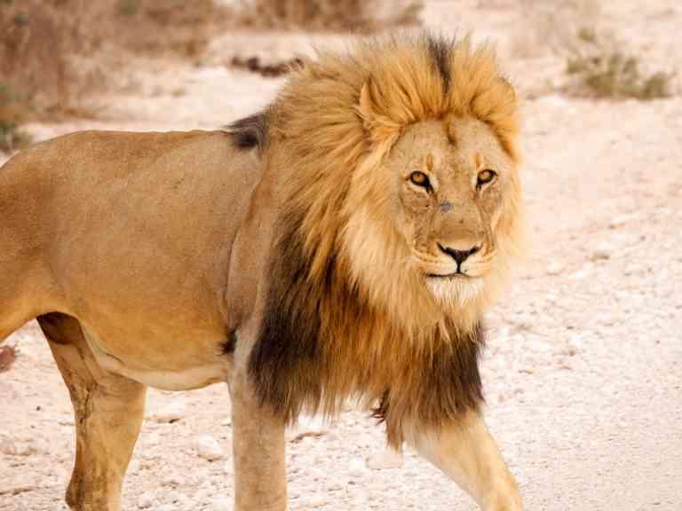 Lion, Etosha National Park, Namibia by Emily Fraser