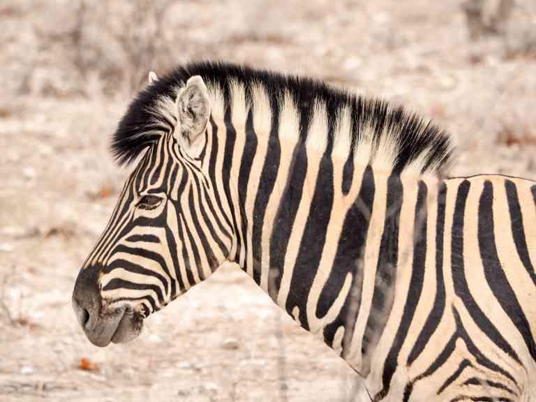 Zebra, Etosha National Park, Namibia by Emily Fraser