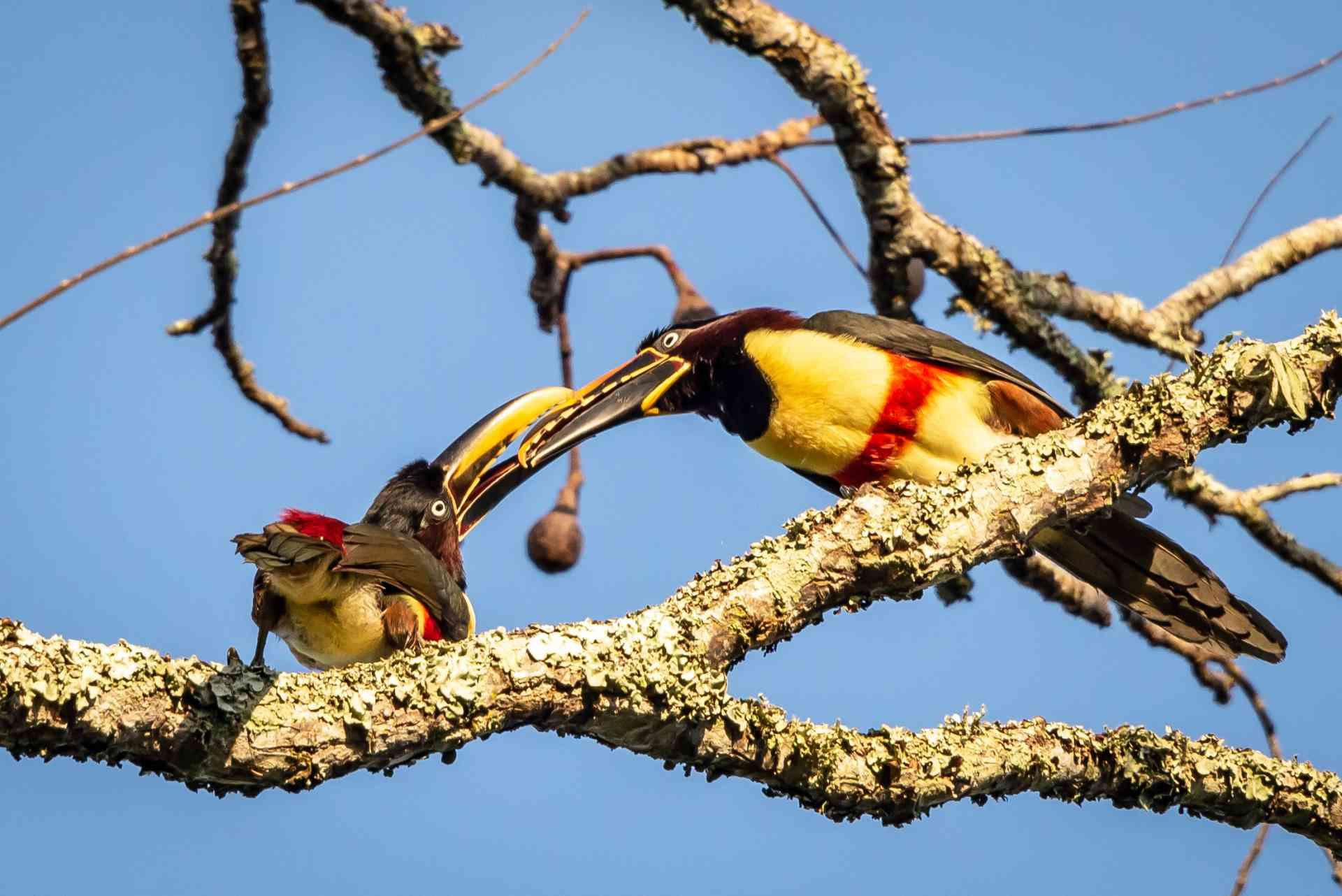 Congratulations to our January 2019 winner Kevin for capturing this great shot of a 'Toucan Tango' near Iguazu Falls in Brazil.