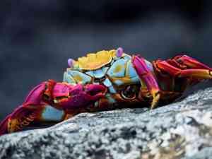 Sally Lightfoot Crab, Galapagos Islands, Ecuador by David Hein