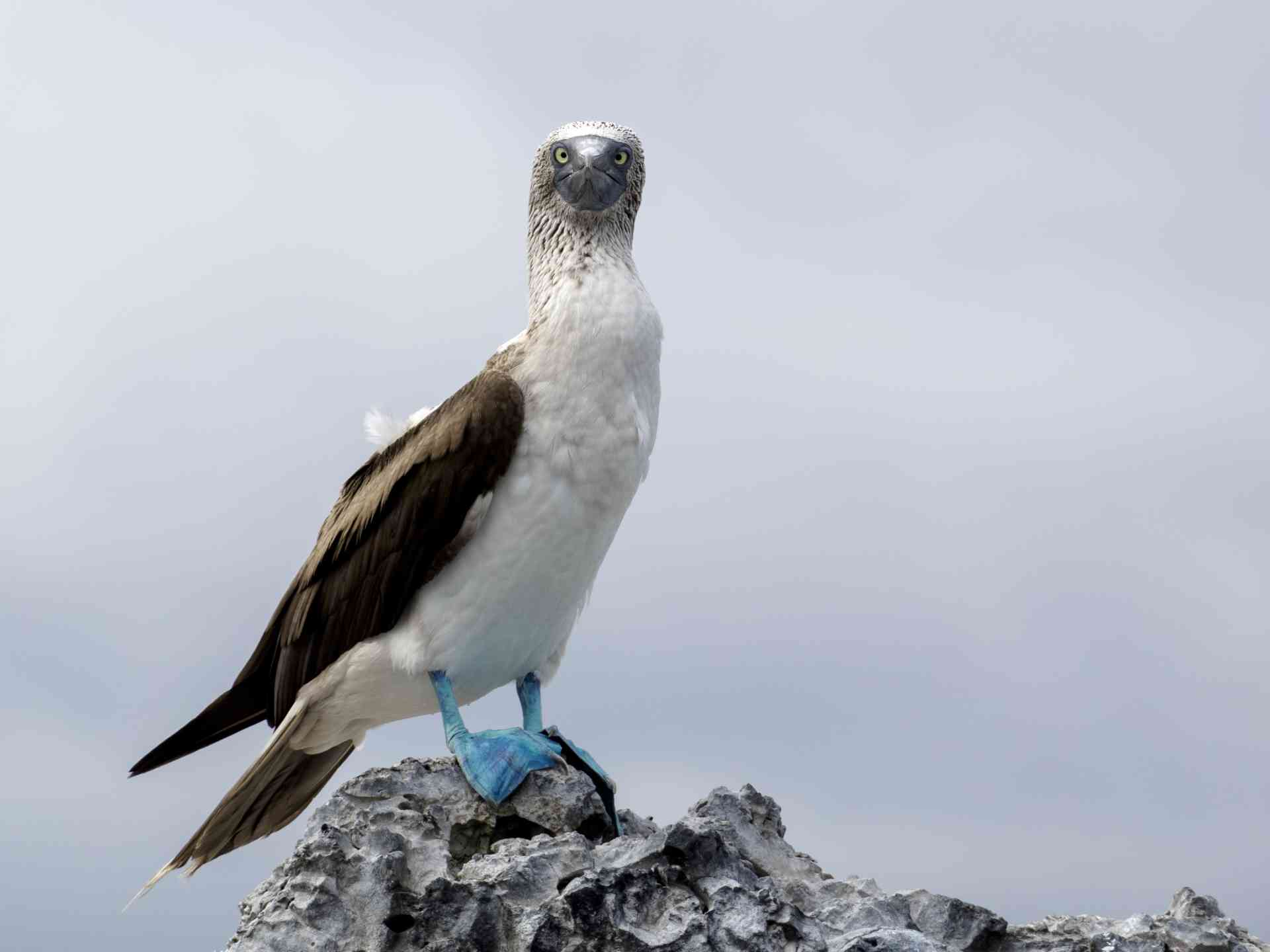 Blue Footed Booby, Galapagos Islands by David Hein