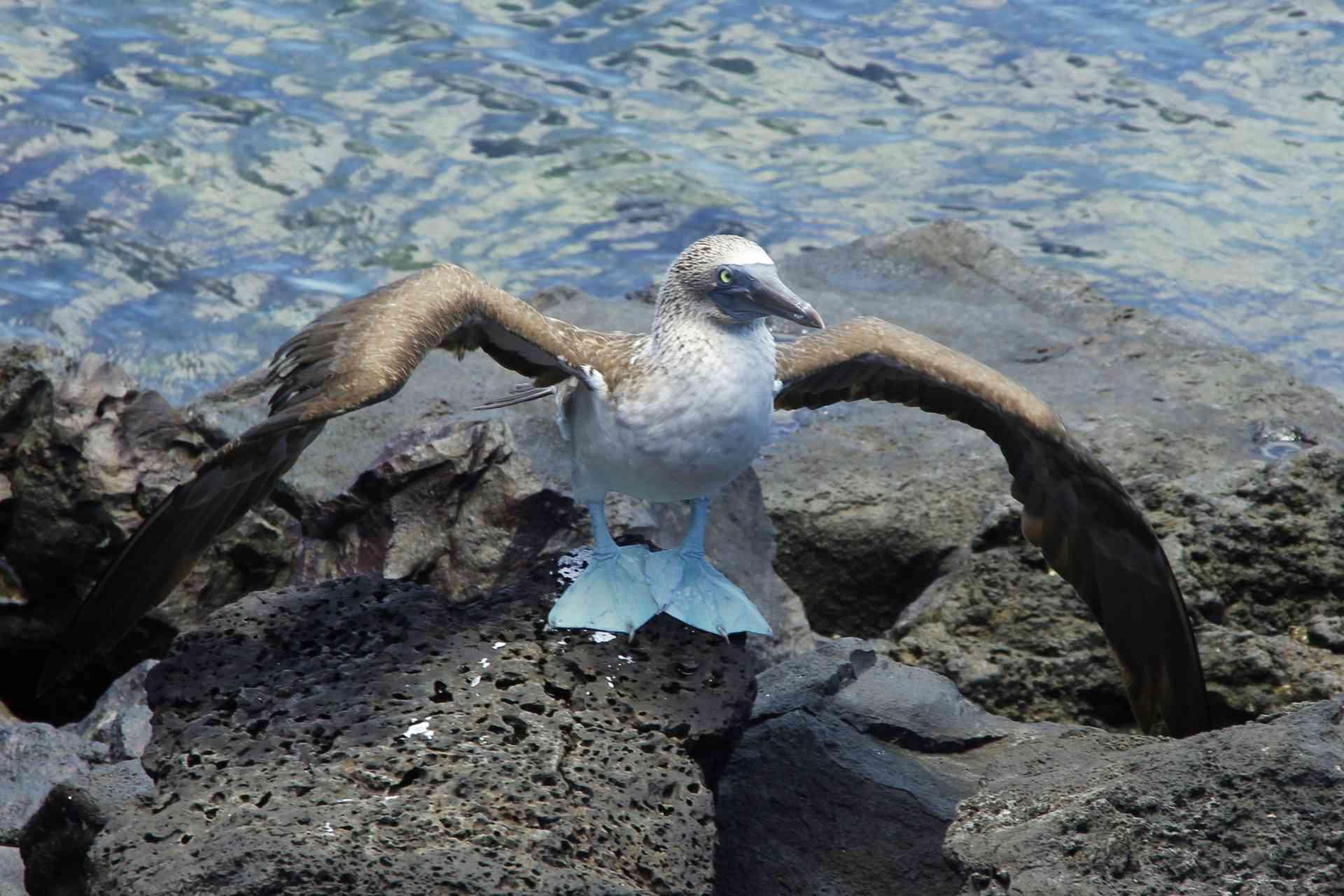 Blue-footed booby, Galapagos Islands, Ecuador by David Hammett