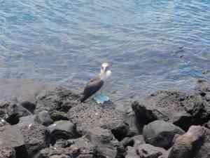 Blue-footed booby on Galapagos Islands, Ecuador by Jeremy van Heerde