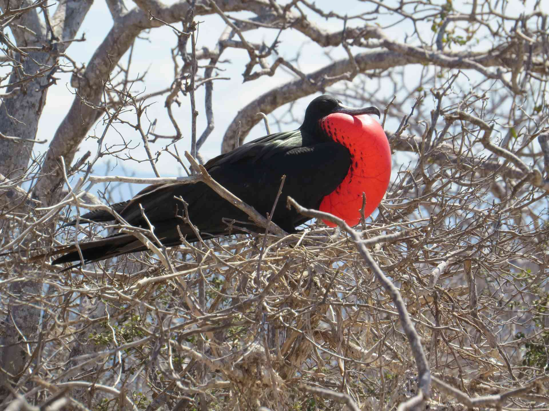 Frigatebird, Galapagos Islands by Marion Bunnik