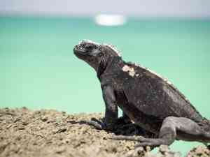 Iguana in the Galapagos Islands, Ecuador by David Hein
