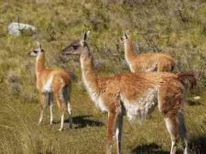 Guanacos in Torres del Paine, Chile by Annelieke Huijgens