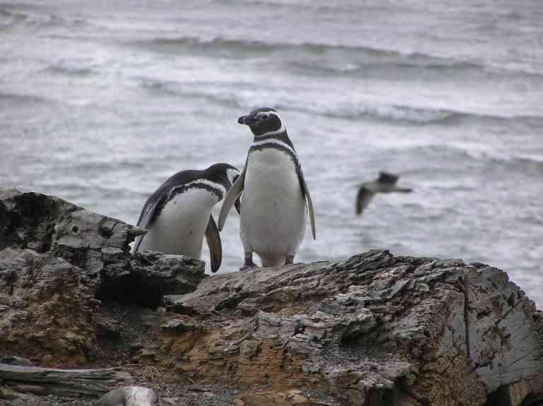 Penguins in Punta Arenas, Chile by Maria Schiarrone