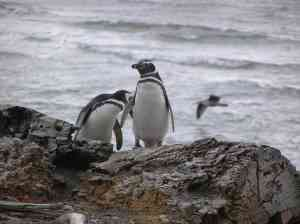 Penguins in Punta Arenas, Chile by Maria Schiarrone
