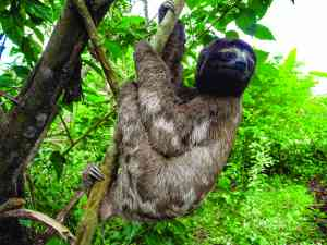 A sloth in the Amazon, Peru by Marion Bunnik