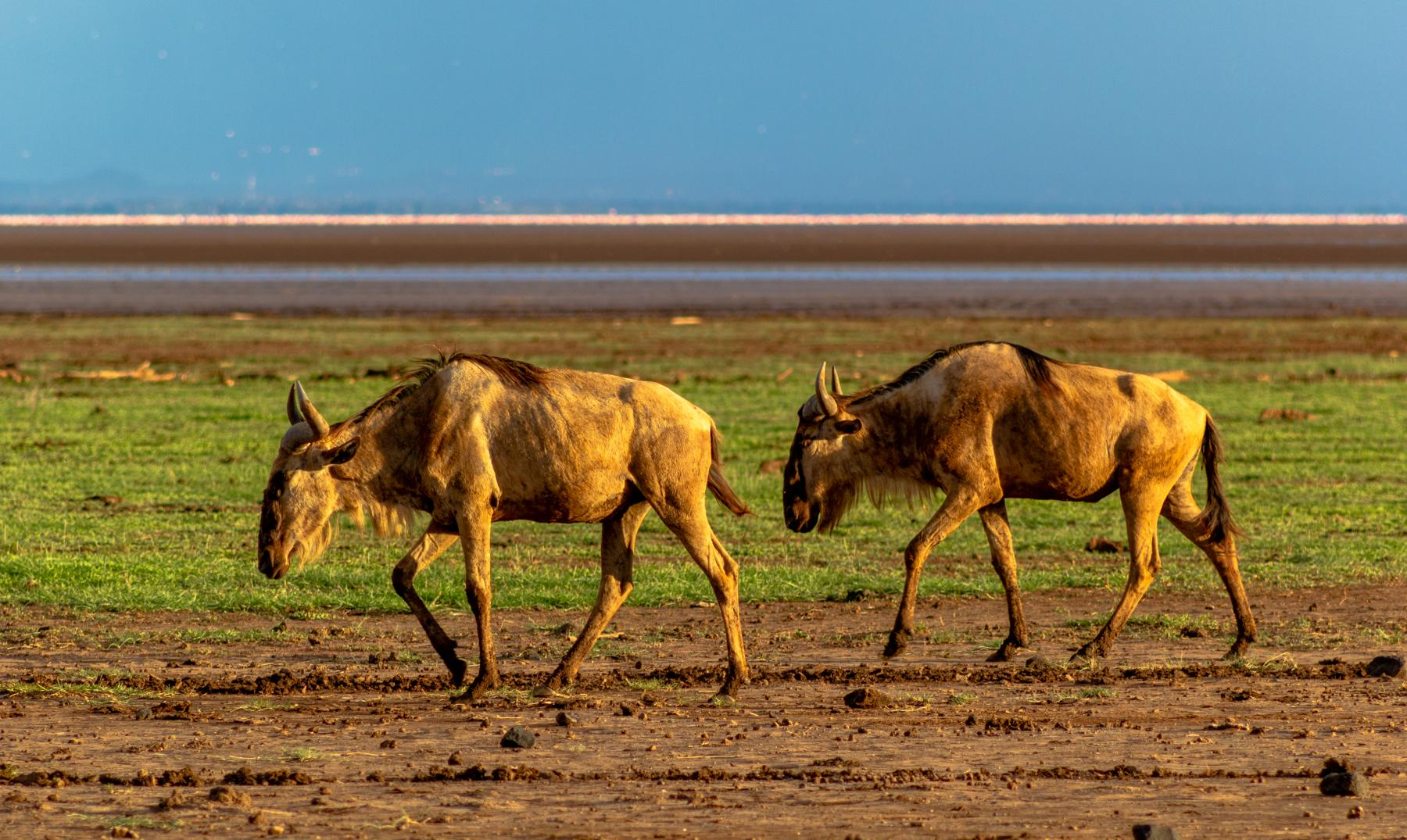 Lake Manyara - Wildebeests